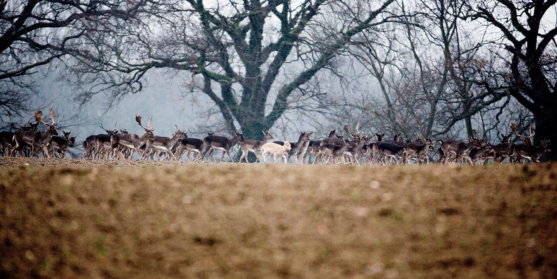 Ein Damwild Rudel auf einer Schneise, dabei einige Hirsche. Das sichere Ansprechen erlernen Sie in der Jagdschule Baron v. Fürstenberg