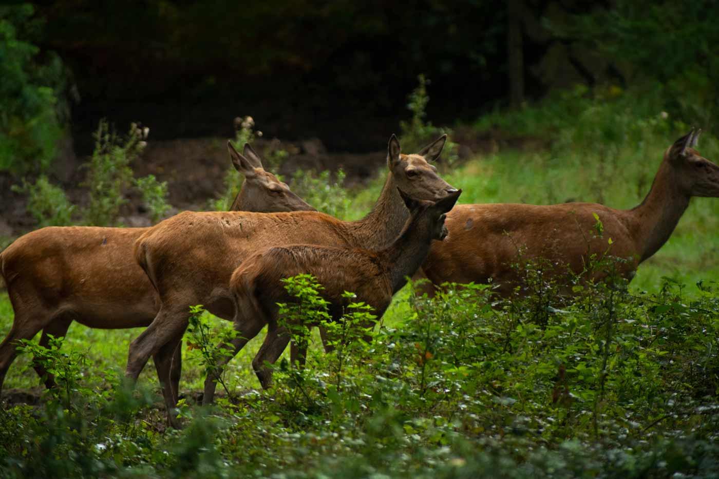Wildtierkunde-Rotwild
